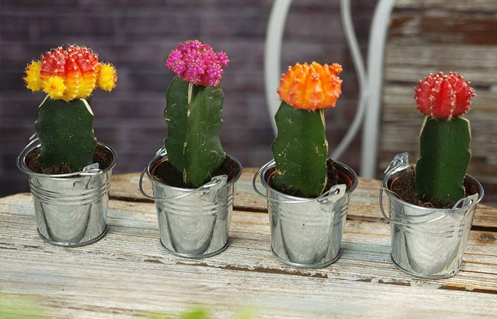Best Cactus for Grafting