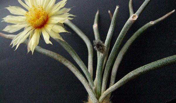 Astrophytum Caput-Medusae Care Guide