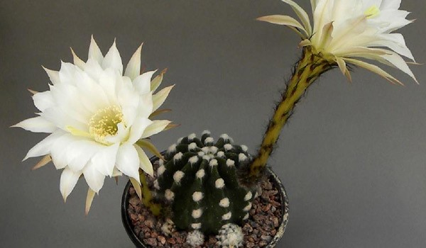 Sea Urchin Cactus Propagation