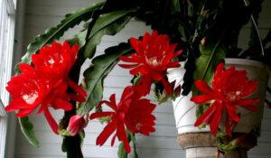 orchid cactus care