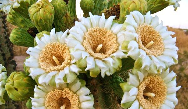 cactus flower names