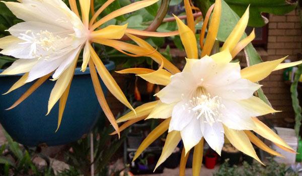 ric rac cactus bloom