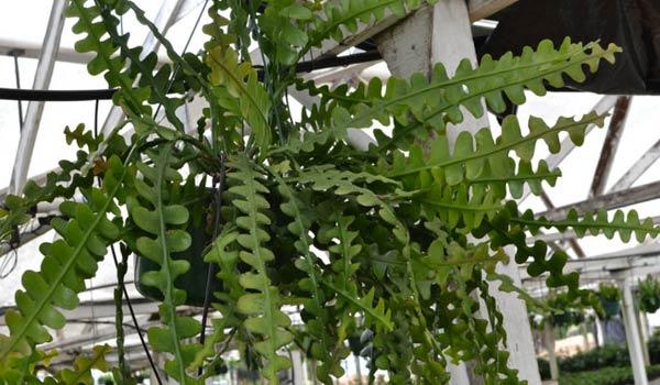 ric rac cactus problems