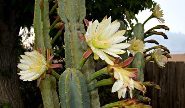 Peruvian apple cactus bloom